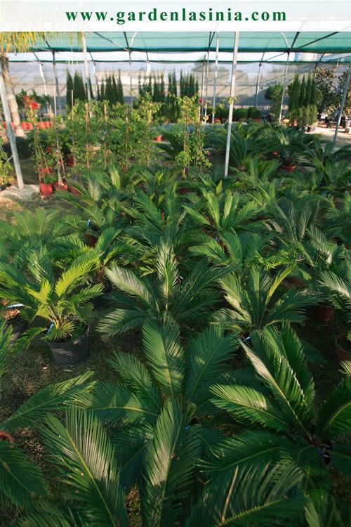 Plantas de exterior productos y servicios la s nia for Plantas fuertes para exterior